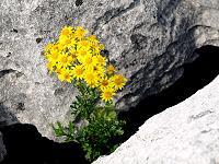 Les fleurs du Burren